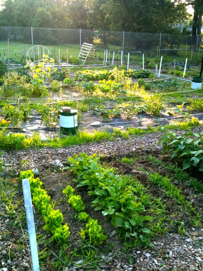 Community Vegetable Garden Photo
